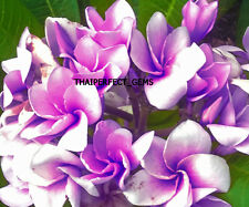 """NEW! Cutting of plumeria/Plants/""""Fragrant_Moung"""" /8-12 inches"""
