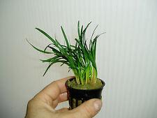 """PLANTA DE ACUARIO. Ophiopogon Japonicus """"Kyoto Dwarf"""""""