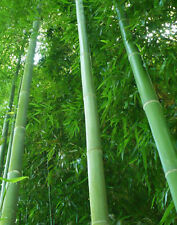 50 Moso Bamboo Seeds Phyllostachys Pubescens Giant Bamboo Seeds Lot of 50 SEEDS