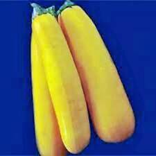 SQUASH SEED,GOLDEN ZUCCHINI SQUASH, HEIRLOOM, ORGANIC, 25+ SEEDS, NON GMO