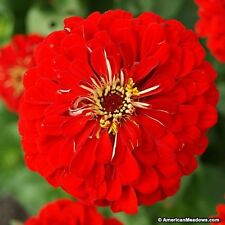 Zinnia- Will Rogers- 100 Seeds- 50 % off sale