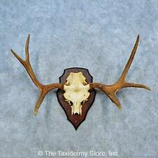 #15490 E | Siberian Moose Antler Plaque Taxidermy Mount For Sale