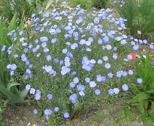 BLUE FLAX PERENNIAL * Linum perenne * VERSATILE SHOWY AND HANDLES NEGLECT * SEED