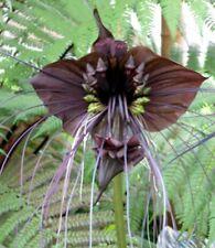 orchideenartige FLEDERMAUSBLUME hat Blüten wie Tierchen