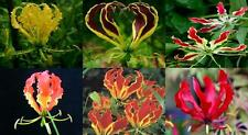 NUOVO: vistoso CLIMBER tropicale (GLORIA GIGLIO misti) sementi