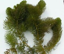 Oxygenating pond plants hornwort ebay for Oxygenating plants for fish ponds