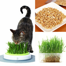 Harvested Cat Grass 1oz/approx 800 Seeds Organic Including Growing Guide Plant