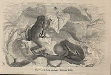 Druck 1878: Laubfrosch (Hyla arborea).