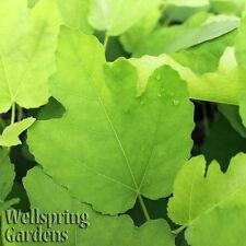 FIG FRUIT TREE 'Texas Everbearing' LIVE PLANT Edible garden Common fig, Higo