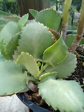 1x KALANCHOE DAIGREMONTIANA PLANT +5 cm. (MOTHER OF THOUSANDS)