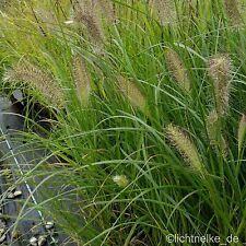 1x Pflanze Lampenputzergras HERBSTZAUBER ( Pennisetum alopecuroides )