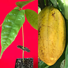 Yellow Theobroma Cacao Cocoa Chocolate Tropical Fruit Tree Starter Potted Plant
