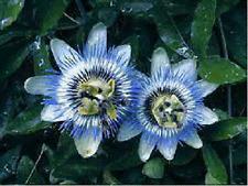 10+ Passiflora Caerulea Blue Passion Flower Seeds