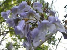 ROYAL Paulownia  Empress Tree  (500 seeds) Perennial The fastest Growing tree!
