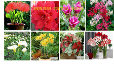 BEST SELLING SUMMER FLOWERS BULBS PACK OF 8 PCS (FOOTBALL LILY, AMARALIS LILY RE