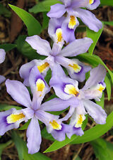 5 DWARF CRESTED IRIS PREMIUM NATIVE WOODLAND WILDFLOWERS BULB ROOT STOCK