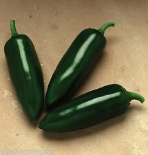 JALAFUEGO F1 PEPPER 25 SEEDS OUR HIGHEST YIELDING JALAPENO 3 1/2-4 INCH FRUITS