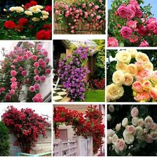 Mixed Rose Flower Seeds Imported from UK 10 Seeds