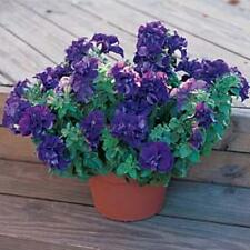 Petunia Double Cascade Blue Annual Seeds