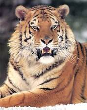 Siberian Tiger: 8x10 In. Photo Art Print