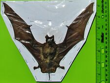"Java Mastiff Bat Otomops formosus Spread 8"" Taxidermy FAST SHIP FROM USA"
