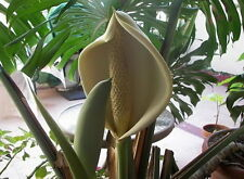 Monstera deliosa Seed Delicious Edible Fruit Hvy Shade Plant Mexican Breadfruit