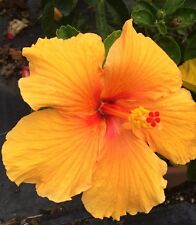 Hibiscus rosa-sinensis 'Joanna' ~ Live Starter Plant