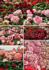 Rosen Set rot Blumen Pflanzen für den Balkon mehrjährig winterhart blühend Deko