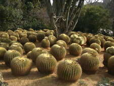 ECHINOCACTUS GRUSONII - GOLDEN BARREL CACTUS, 100 HIGH QUALITY SEEDS