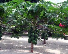 Carica Papaya - 'TR Hovey' - Dwarf Papaya -  LIVE Plant