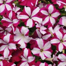 25 Pelleted Seeds Easy Wave Burgundy Star Pelleted Petunia Seeds