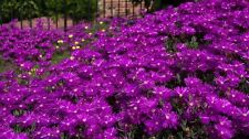 50+ DELOSPERMA PURPLE ICE PLANT FLOWER SEEDS /PERENNIAL