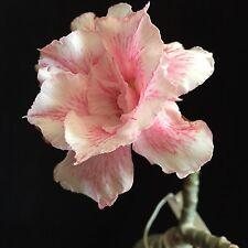 Adenium cv. White Star, desert rose hybrid