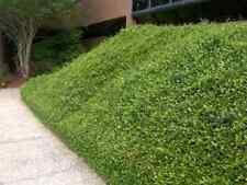 "Asian Jasmine, Trachelospermum asiaticum ""Minima"", TWENTY plants, vine"
