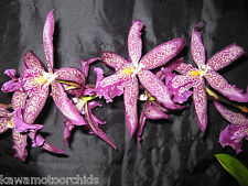 BIN- Bllra. Marfitch 'Howard's Dream' AM/AOS Striking! Showstopper! Orchid Plant