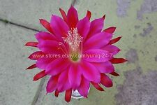 Epiphyllum Rare (1) Cutting Long Orchid Cactus Succulent XLarge Purple Flower