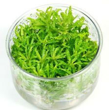 Pogostemon Helferi in Vitro Downoi Live Aquarium Plants Foreground ADA Aquascape