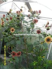 Hungarian Giant Sunflower, many heads, red colour, short growing period,30 seeds