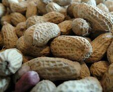 ☺15 graines bio d arachide hypogaea à semer récolte 2016/ cacahuète peanut