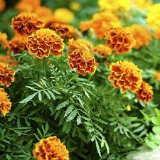 35 Graines d'Oeillet d'Inde BIO seeds fleurs anti puceron ami jardin potager