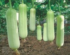Vegetable Seed - white jade luffa seeds Loofah SPONGE GOURD organic heirloom