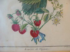 1768 FRAMED HAND COLORED STRAWBERRY ENGRAVING by Haussard: ECARLATE DE VIRGINIE