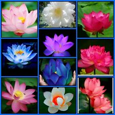 Bonsai Lotus Seeds Combo Pack, White, Blue Moon,Red,Pink Lotus Flower Seeds