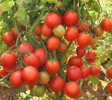 Wholesale 10g 2850 Seeds Tomato F1 hybrid Arka Rakshak Triple Disease Resistant