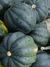 250 Bush Acorn Squash Seeds Table King BULK SEEDS