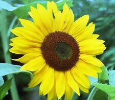 Sunflower seeds 50+Sunbird variety Sunflower garden plants  -  free delivery