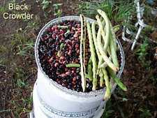 "BLACK CROWDER ""COWPEA"" PEA SEEDS - 30 FRESH SEEDS - NON-GMO"