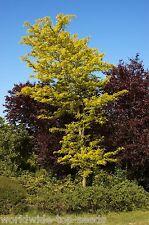 """Lederhülsenbaum Gleditsia triacanthos 20 exotische Samen """"ALLES NUR 1 EURO"""""""