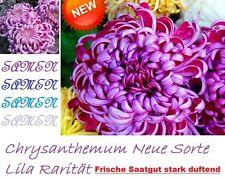 20x Crisantemo Lilla Pianta Fiore SEME Rarità Semi Fresca profumata #43