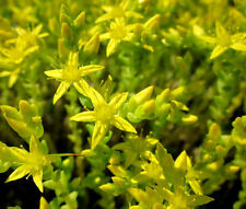 SEDUM GOLD MOSS STONECROP GROUND COVER Sedum Acre - 1,500 Bulk Seeds